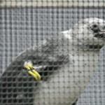 葛西のペンギン2