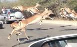 【南アフリカ】チーターに追われたインパラ、観光客の車に飛び込む